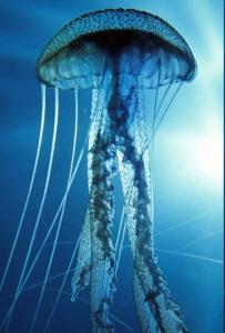 Морская медуза